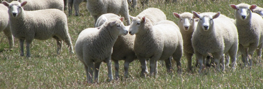 Ewe lambs in the Newhaven tussocks - January