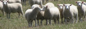 Ewe lambs in the Newhaven tussocks - January
