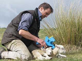 Lamb tagging
