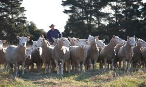Monmot Perendales Stud Flock